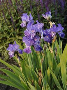 Image result for german iris