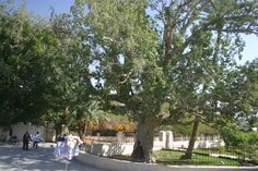 Zaccheus was a wee little man, and a wee little man was he. He climbed up in a sycamore tree for the Lord He wanted to see! A Tree like this...right about HERE! Jerico