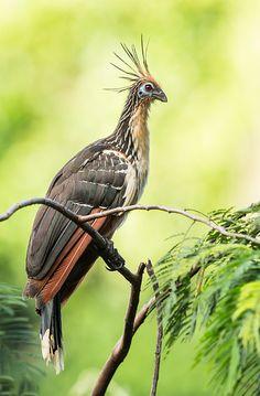 Foto cigana (Opisthocomus hoazin) por Ester Ramirez | Wiki Aves - A Enciclopédia das Aves do Brasil