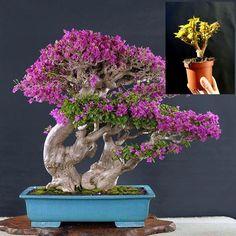 Bougainvillea Pre bonsai - Amazing plant Approximately 16 years old plant Bougainvillea Bonsai, Bonsai Plants, Bonsai Garden, Garden Plants, Bonsai Trees, Bonsai Flowers, Fairy Gardening, Indoor Gardening, Houseplant