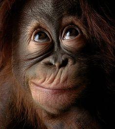 Orang-utan (Pongo pygmaeus), close-up, head-shot