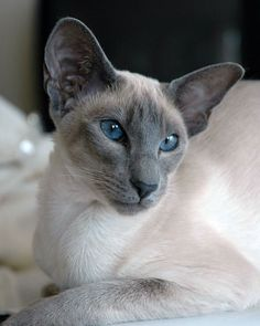 Blue point Siamese-looks like our Shadow.