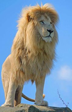 ECO NEWS: The Direct Connection Between Walking With Lions & Canned Lion Hunting. How the cub you pet today will become the lion hunters kill tomorrow. Beautiful Cats, Animals Beautiful, Beautiful Pictures, Big Cats, Cats And Kittens, Animals And Pets, Cute Animals, Wild Animals, Baby Animals