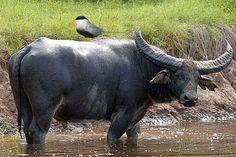 Wild Buffalo, Koshi Tappu Wildlife Reserve