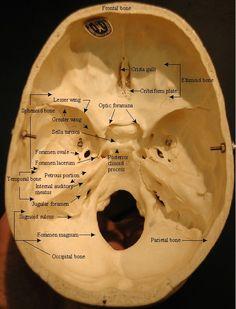 Content: frontal lobe of the brain, olfactory bulb, olfactory tract. Bones: orbital surface of the temporal bone, lesser Anatomy Head, Anatomy Bones, Skull Anatomy, Human Skeleton Anatomy, Brain Anatomy, Human Body Anatomy, Human Anatomy And Physiology, Anatomy Study, Dental Anatomy
