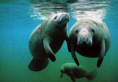 manatee pictures - Bing Images