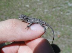eastern fence lizard pictures - Google Search