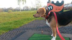 Beagle-golf   #koosjedebeagle