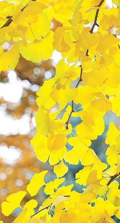 yellow leaves...