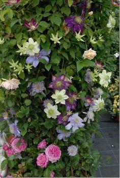 Et flot mix af roser og forskellige klatreplanter Plants, Beautiful Flowers Garden, Amazing Flowers, Beautiful Flowers, Green Flowers, Flowers, Perfect Plants, Clematis, Perennial Garden