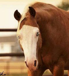Quarter Horse with white bald face and blue eyes, so pretty. He looks like a smart sweet horse.