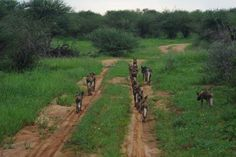 "Wild dogs ""on the road again"" After the rain on Erindi, Namibia in February 2014"