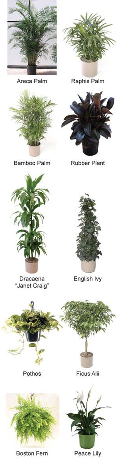 plants for cleaning the air in the home