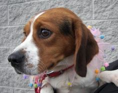 Adopt PUMPKIN, a lovely 10 years 1 month Dog available for adoption at Petango.com. PUMPKIN is a Beagle / Mix and is available at the Pet Adoption League in YUKON, PA