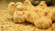 thepathswemake:  BB-8 getting all the chicks