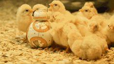 thepathswemake:  BB-8 getting all the chicks