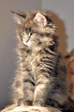 maine coon kitten/WE HAVE ONE THAT LOOKS LIKE THIS. HIS NAME IS SLATER