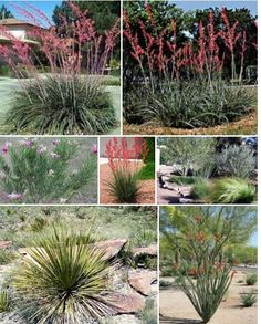 Drought tolerant plants for Central Texas Xeriscape, Plants, Garden, Xeriscape Plants, Trees And Shrubs, Shrubs, Rock Garden, Landscape, Backyard