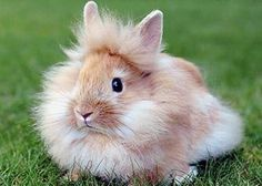 The Dutch dwarf rabbits are becoming most popular pets and dwarf lionhead rabbit is the newer breed of dwarf rabbits that is generally found in the USA. Nature Animals, Animals For Kids, Animals And Pets, Cute Animals, Rabbit Information, Dwarf Bunnies, Bunny Rabbits, Lionhead Rabbit, Dwarf Rabbit
