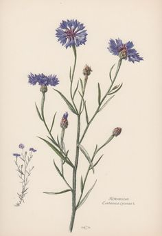 Botanical Print Centaurea cyanus Cornflower by AntiquePrintGarden