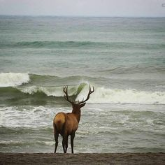 Elk and Astoria, Oregon - photo by Dan Elster State Of Oregon, Central Oregon, Oregon Coast, Beautiful World, Animals Beautiful, Beautiful Creatures, Beautiful Scenery, Beautiful Pictures, Gearhart Oregon