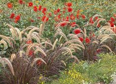 Massif de fleurs d'été : pennisetum et dahlia