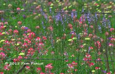An Easter wildflower safari - Texas vervain (Verbena halei) in forefront   Digging