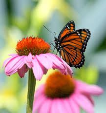 Image result for What butterfly looks like a monarch?