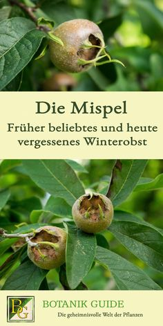 Mispeln sind eine Bereicherung im Naturgarten & The post Medlars are an asset in the natural garden & appeared first on Monica& Secret World. Organic Gardening, Gardening Tips, Marigolds In Garden, Herbs Garden, Gardening Magazines, Garden Guide, Natural Garden, Healthy Fruits, Companion Planting
