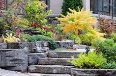 Golden Sumac showing its fall colours in a terraced rockery entrance to a home.  View more of Autumn in My Neighbourhood.  © Rob Huntley 2012