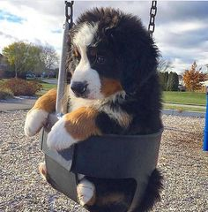 38 Best Toys for Bernese Mountain Dogs – Mona Gisbert - Baby Animals Cute Dogs And Puppies, I Love Dogs, Pet Dogs, Dog Cat, Doggies, Babies With Dogs, Dogs Pitbull, Baby Dogs, Cute Funny Animals