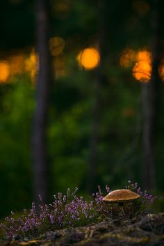 blooms-and-shrooms: birch bolete by Stephan.