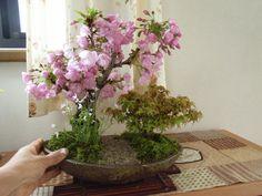 cherry tree bonsai - Google Search