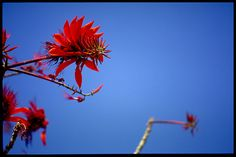 coral tree flower- swaziland