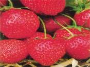 Çilek Strawberry Tohumu http://www.fidanistanbul.com/urun/2804_cilek-strawberry-tohumu.html Fidan Satışı, Fide Satışı, internetten Fidan Siparişi, Bodur Aşılı Sertifikalı Meyve Fidanı Süs Bitkileri,Ağaç,Bitki,Çiçek,Çalı,Fide,tohum,toprak
