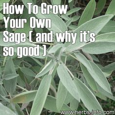 How To Grow Your Own Sage