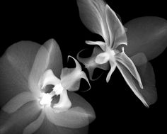 nick_veasey_orchids