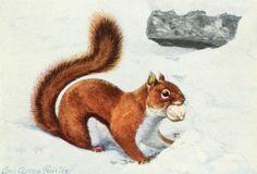 Fuertes, Louis Agassiz (1874-1927) - Burgess Animal Book for Children 1920 (Red Squirrel 2).