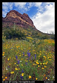 Mexican Poppies, lupine,  and Ajo Mountains. Organ Pipe Cactus  National Monument, Arizona, USA