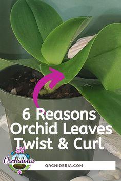 Orchid Plant Care, Orchid Plants, Orchids Garden, Orchid Roots, Orchid Leaves, Growing Orchids, Growing Plants, Growing Veggies, Indoor Orchids