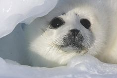 'Hope Floats' by Mark Glover – April 2011 (harp seal pup) - © Mark Glover