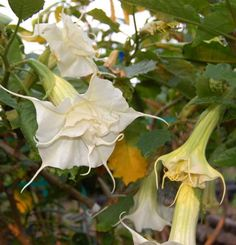 A new Sommer Gardens angel trumpet - Brugmansia 'White Magic'