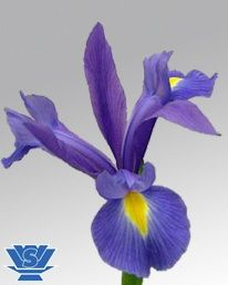 Deep River ® (IRIS)    Blue/Purple 60-70cm