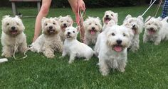 Image result for Westies