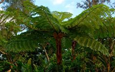 Flying Spider Monkey Tree Fern - Cyathea lepifera