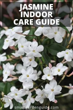 How to grow jasmine indoors. Read my complete guide to jasmine plant care at sma. How to grow jasm Jasmine Plant Indoor, Indoor Plants, Indoor Gardening, Indoor Cactus, Urban Gardening, Hydroponic Gardening, Urban Farming, Smart Garden, Garden Care