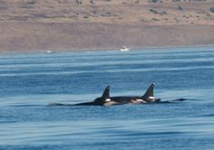 New Baby for L pod! - We finally have new calf in L pod. L86 (b. 1991) was seen today by CWR staff with a brand new calf who will be designated L120. This is the first new calf in the SRKW population since 2012. (photo credit: James Mead Maya / Maya's Westside Whale Charters, 4:41p.m. – September 6, 2014).