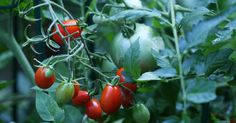 Wild Tomatoes Repel Whiteflies, Study Finds-The farm pests attack many domestic crops, but crossbreeding with wild types may help yield insect-resistant varieties, researchers suggest.
