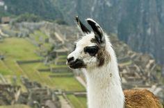 Machu Picchu lama picture must visit places
