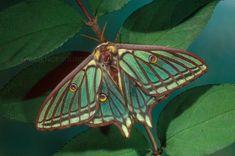 Beautiful Bugs, Beautiful Butterflies, Pretty Animals, Cute Animals, Silkworm Moth, Cute Moth, Colorful Moths, Emperor Moth, Moon Moth